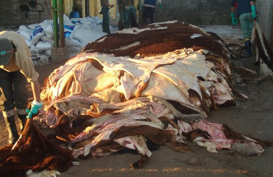 Raw Salted Cattle Hides